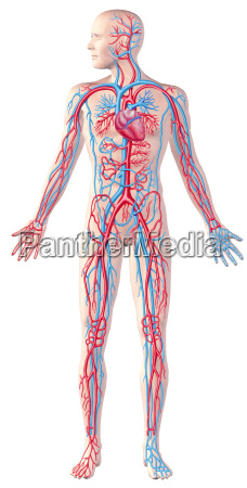 human circulatory system full figure cutaway