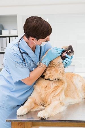 veterinarian examining teeth of a cute