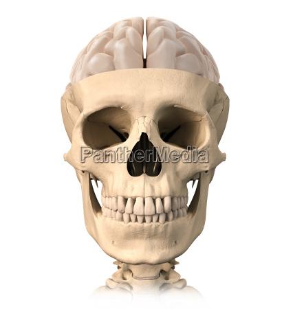 human skull cutaway with half brain
