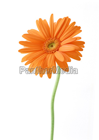 single orange white sunflower flower