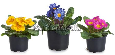 primroses in the pot