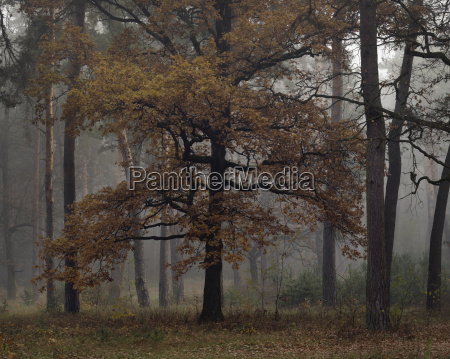 misty autumn forest with oak and