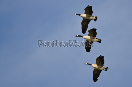 three canada geese flying in a