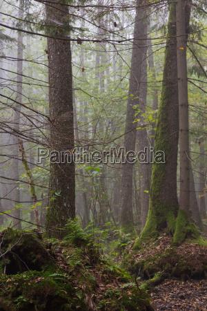 large alder tree in a misty