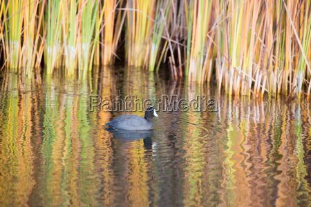 american coot boronda lake foothill park