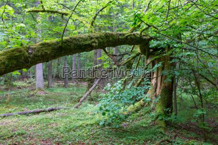 old broken spruce tree moss wrapped