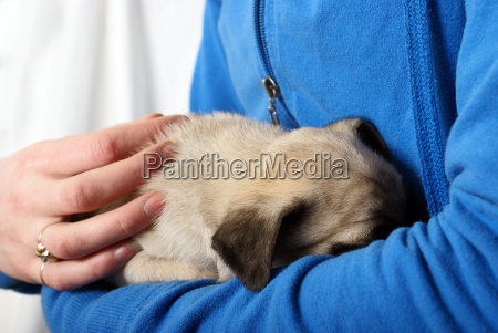 embracing newborn pug puppy
