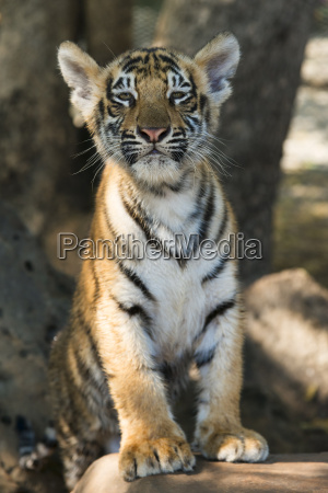 cats tigers 38679