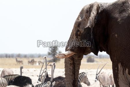 african elephants drinking at waterhole