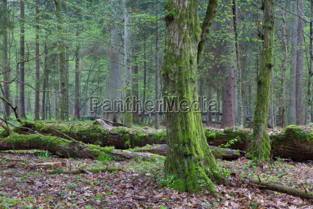 springtime deciduous stand of bialowieza forest