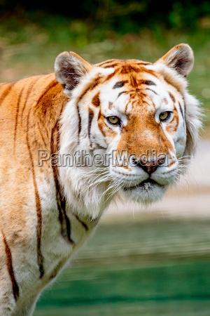 aging, tiger - 15669844