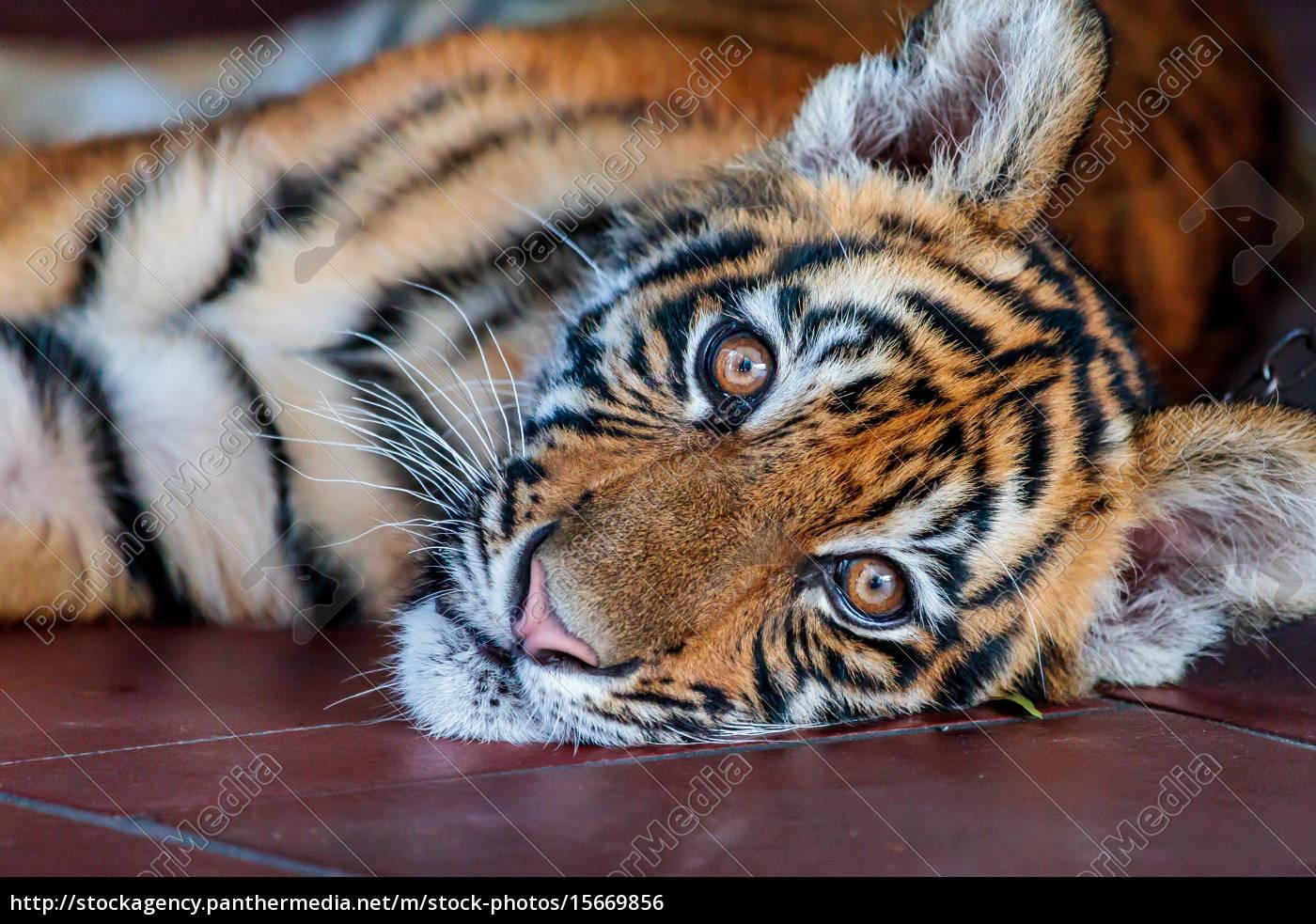 baby, tiger - 15669856