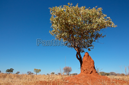 tree and termite mound