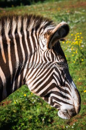 grevys zebra samburu national park kenya