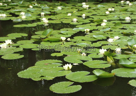 perspective of white waterlily in pond