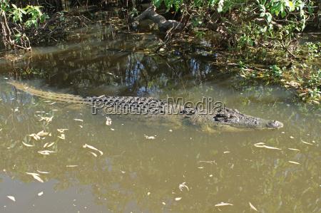 saltwater crocodile australia