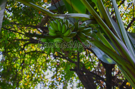 banana tree in a tropical background