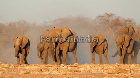 african elephants in dust