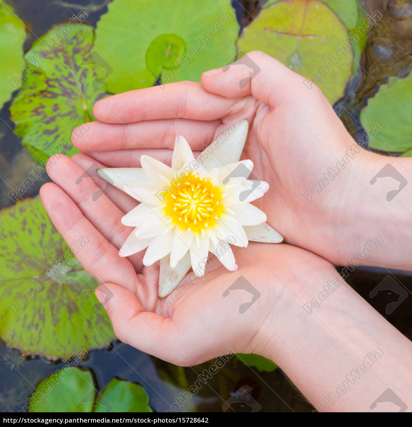 Woman Hands Holding Lotus Flower Stock Image 15728642