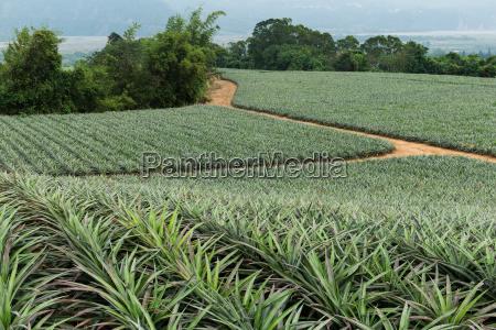 pineapple in a garden farms in