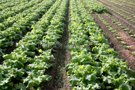 radishes plant growing in a farm