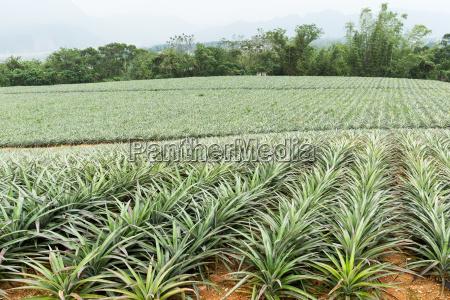 pineapple field