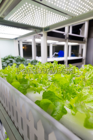 cultivation hydroponics green vegetable in farm