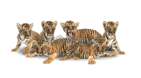 baby bengal tiger on white background