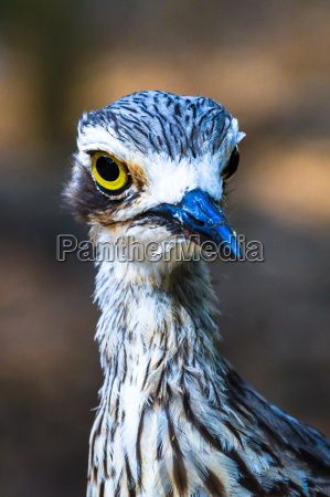 curlew, portrait - 15761648