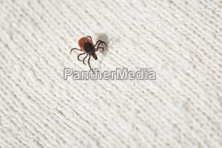 tick parasitic arachnid blood sucking