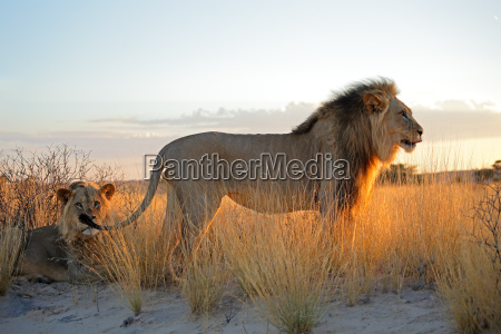 big male african lions