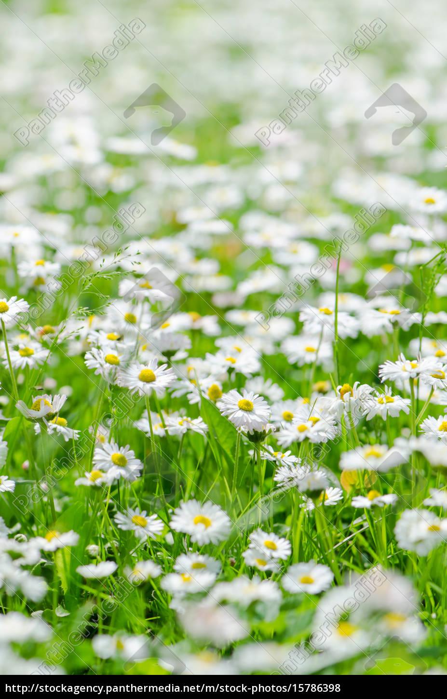 glade, beautiful, little, daisy, , close-up - 15786398