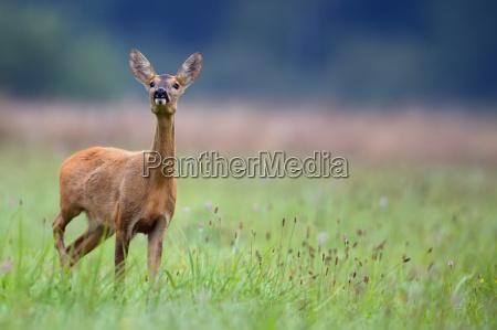 roe-deer, in, the, wild - 15787518