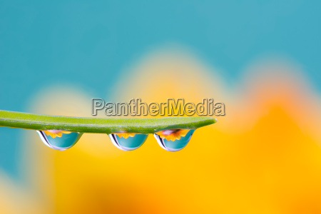 flower refraction in dew drops on