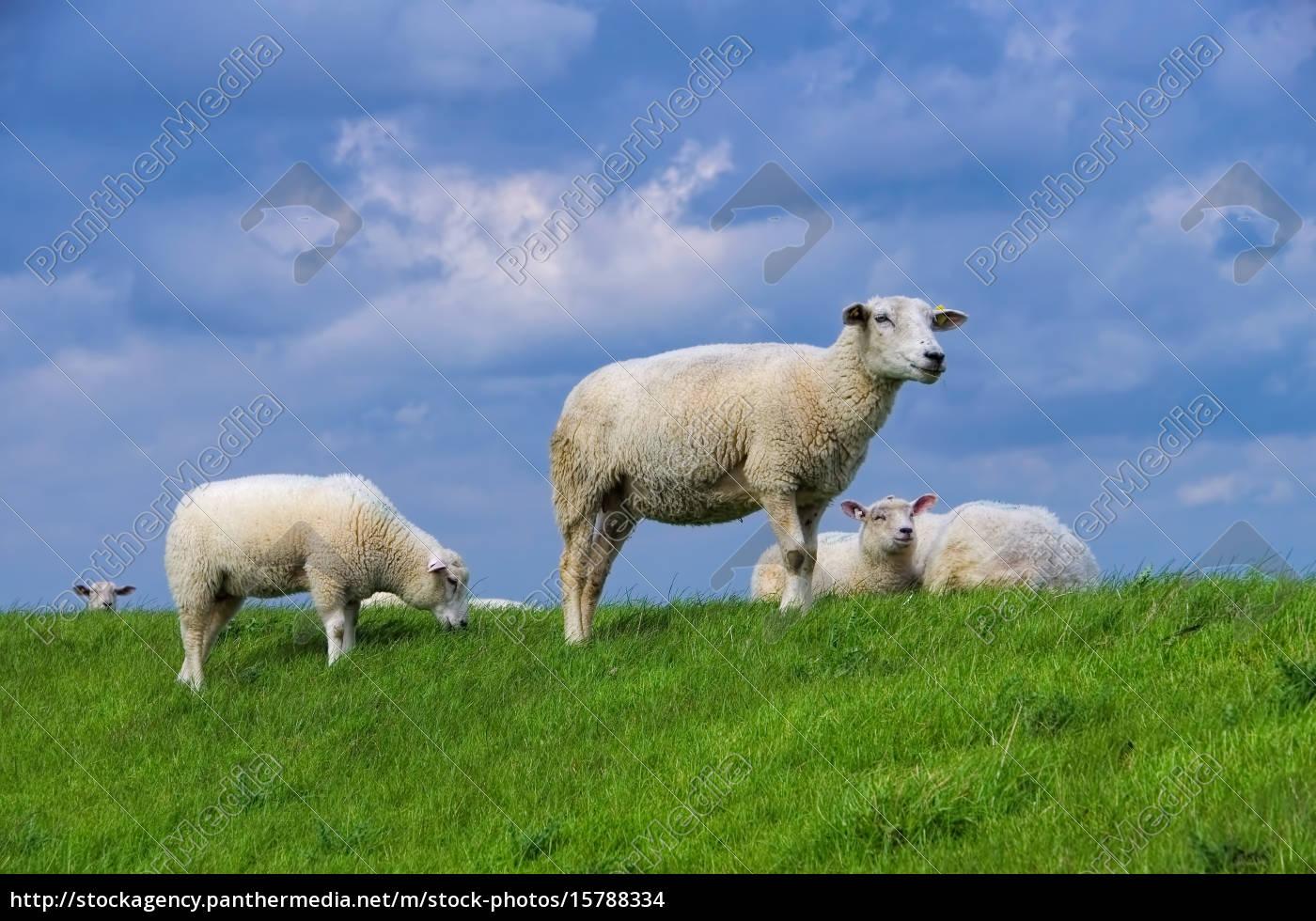 ostfriesland, sheep, -, eastern, friesland, sheeps - 15788334