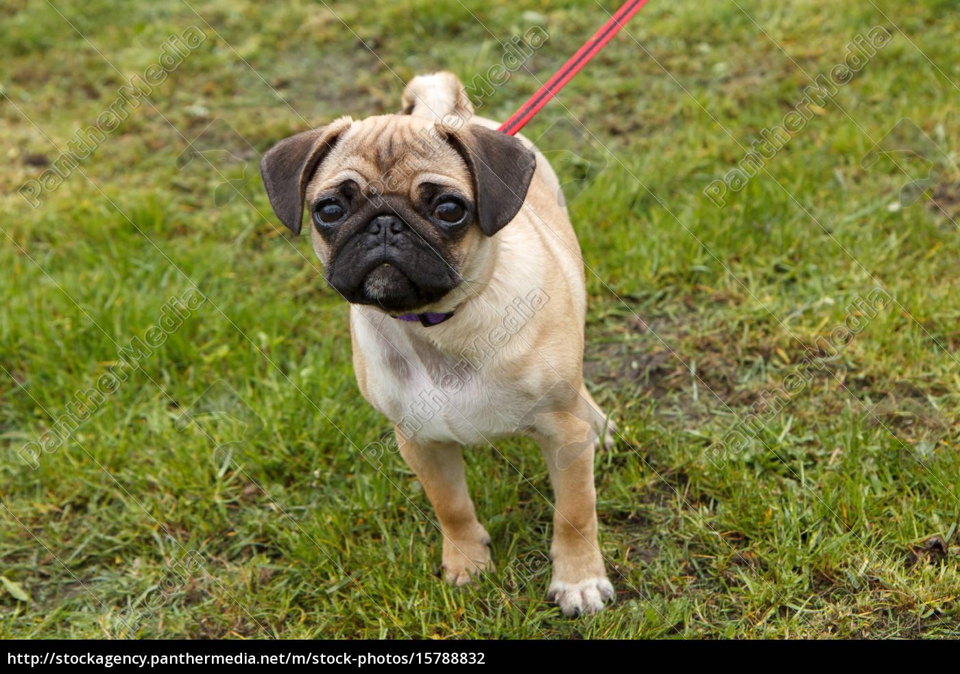 young, pug, walking - 15788832