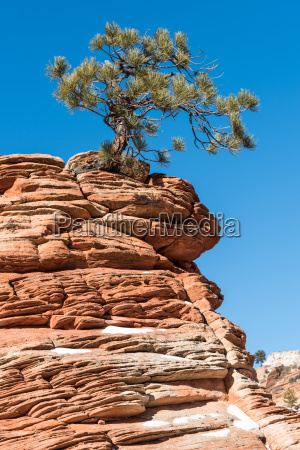 twisted pine tree at zion national