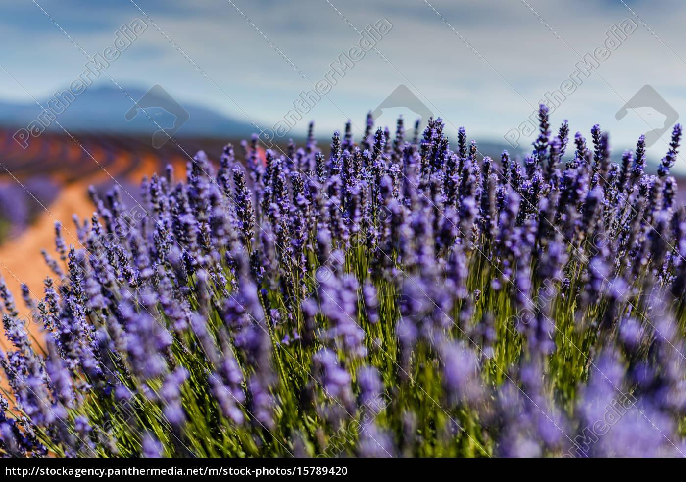lavender, field - 15789420