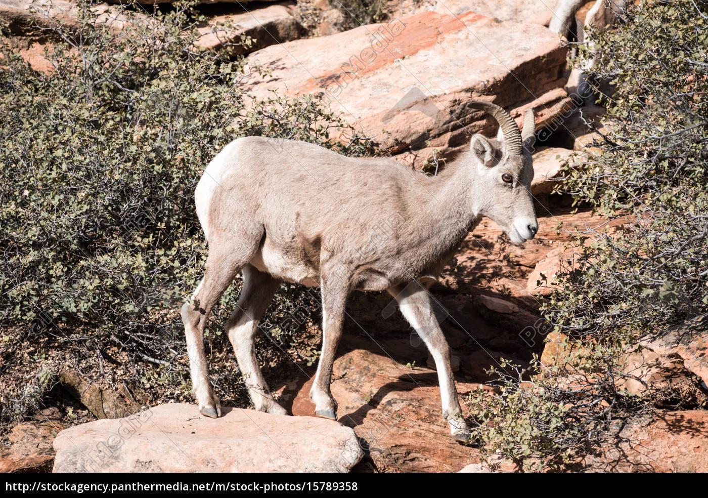 young, bighorn, sheep - 15789358
