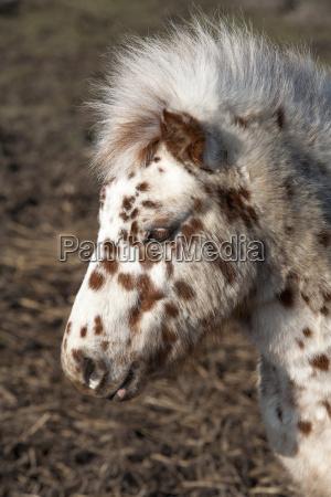 dotty, pony - 15791004