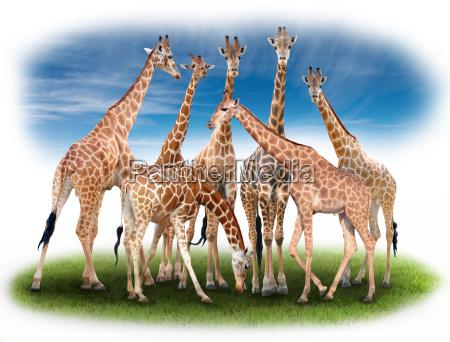 group, of, giraffe - 15791633