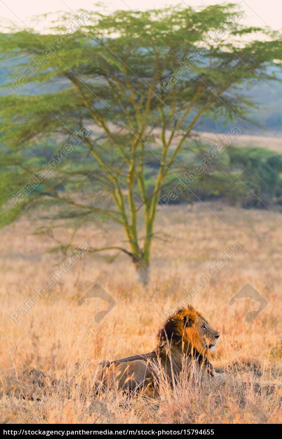 male, lion, in, amboseli, male, lion, in - 15794655