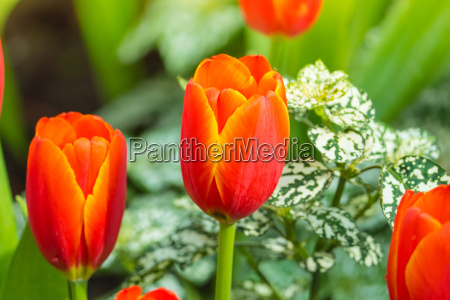 tulip., beautiful, bouquet, of, tulips., colorful - 15794271
