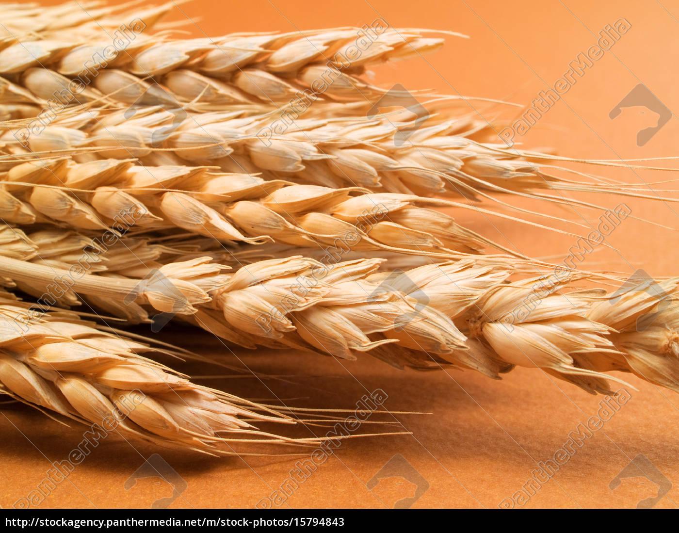 wheat, wheat, wheat, wheat - 15794843