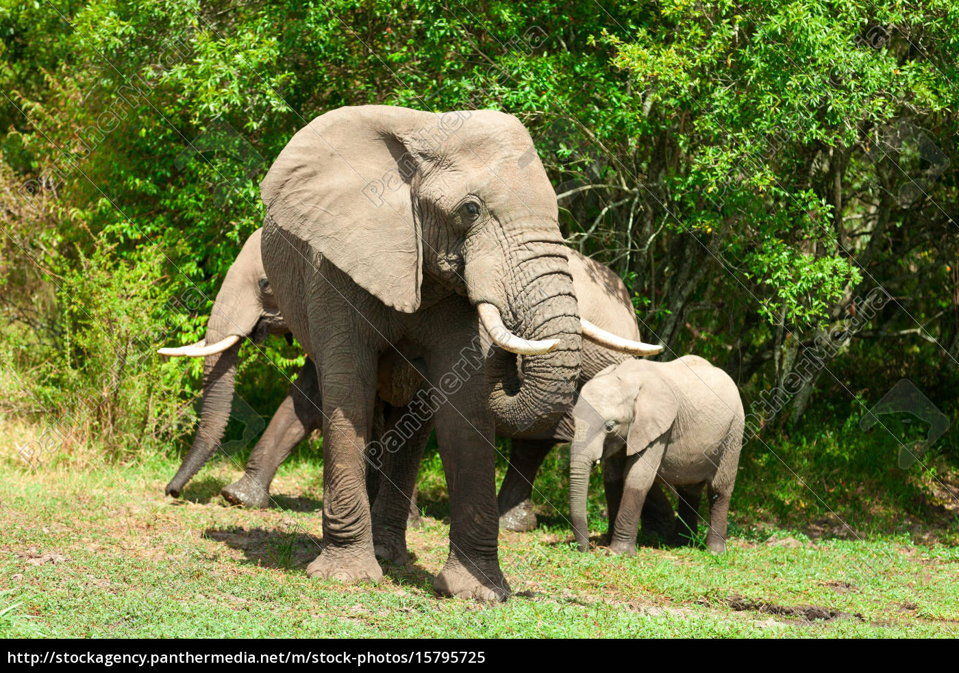 elephants, in, masai, mara - 15795725