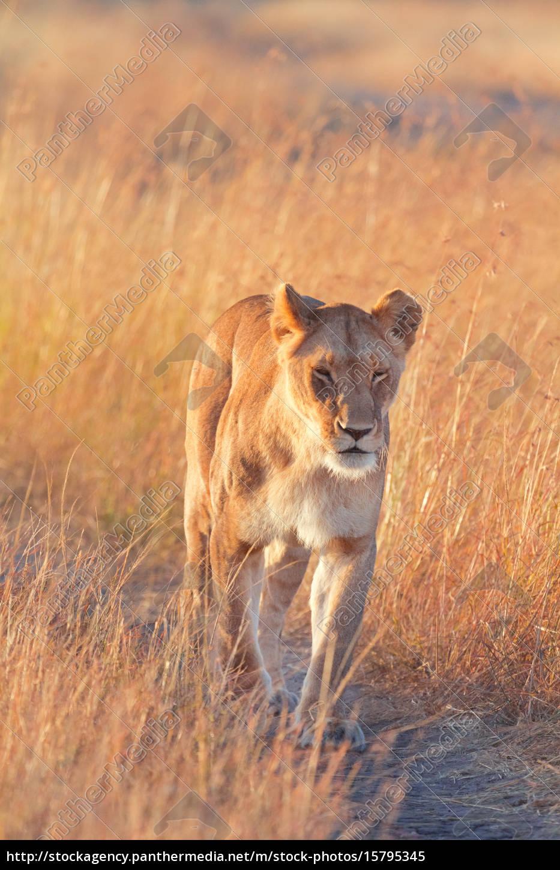 female, lion, in, masai, mara, female, lion - 15795345