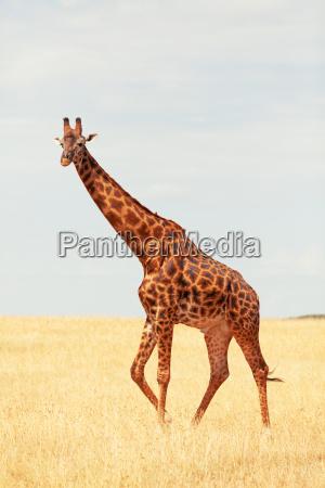 giraffe, in, masai, mara - 15795711