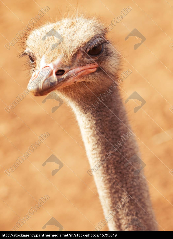 ostrich, close, up, ostrich, close, up, ostrich, close - 15795649
