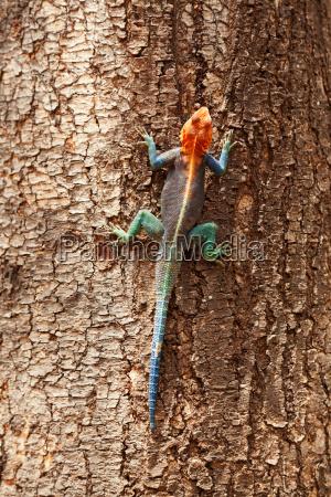 red, headed, agama, lizard, , amboseli - 15795283