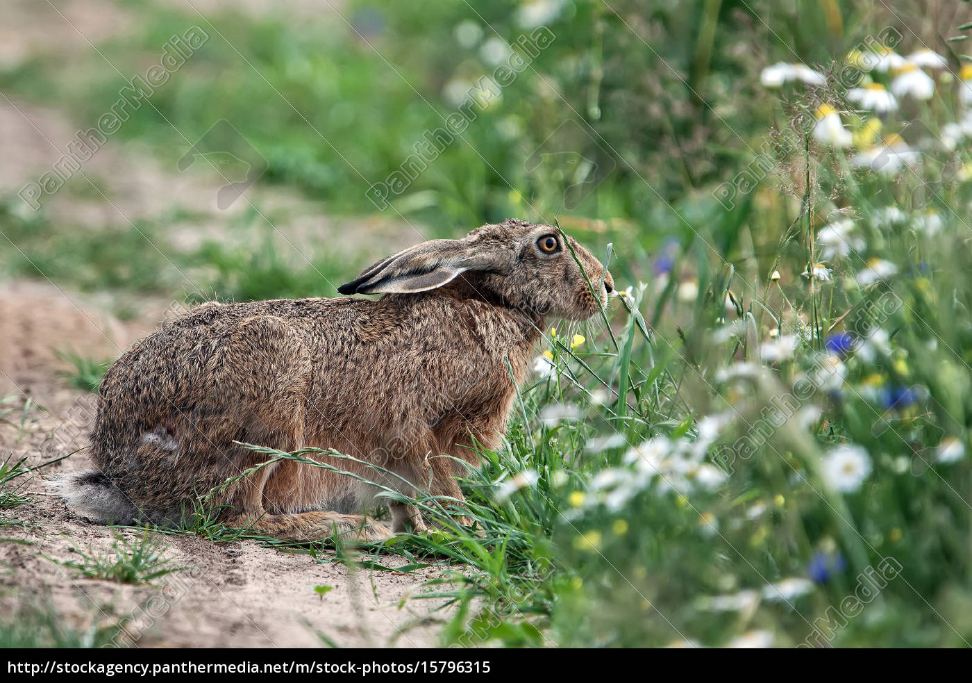 hare, in, the, wild - 15796315
